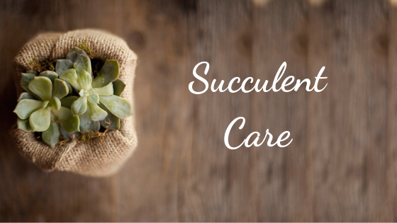 Succulent Care - How to water succulents